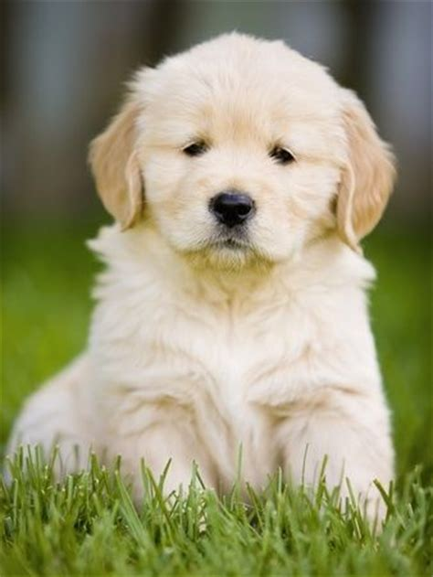 puppy can t golden retriever puppy can t wait to get mine