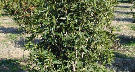 olea fragrans in vaso osmanthus fragrans piante da giardino osmanthus