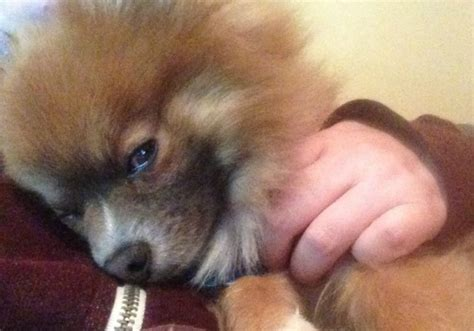 sleepy pomeranian i m going to be one of those parris
