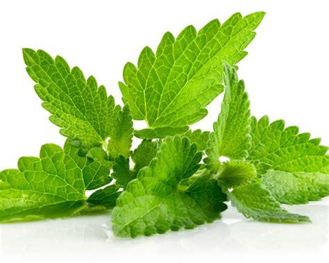 Pohon Mint Daun Mint manfaat daun mint untuk batuk berdahak
