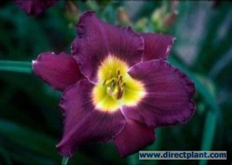 donkerpaarse bloemen 1 20 m tuingerei hemerocallis bela lugosi daglelie p9 van