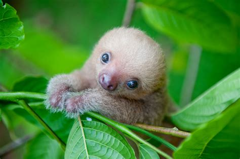 Unbelievably Cute Pictures of Rescued Baby Sloths   OmniFeed
