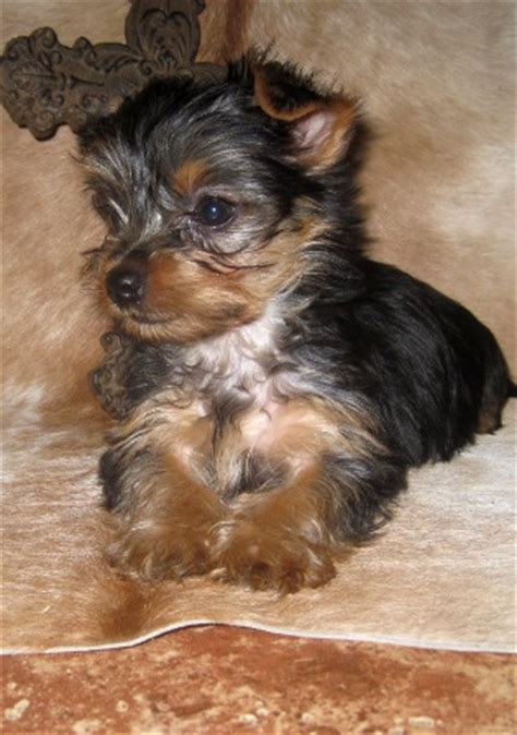 standard yorkie size images of standard size yorkies yorkie breeder baby doll breeds picture