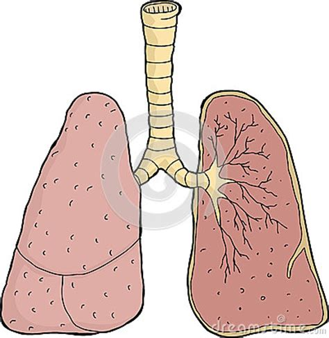 Cross Section Of Lung by Lungs Cross Section Stock Vector Image 45147281