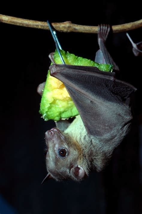 egyptian fruit bat bat facts and information