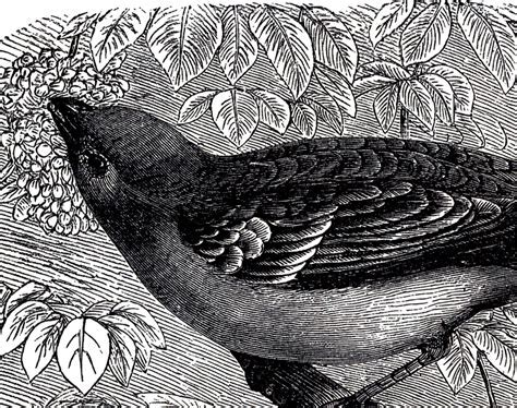 Beautiful Antique Bird Engraving!   The Graphics Fairy