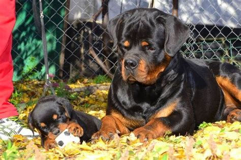 baby rottweiler pictures 17 best images about rottweiler daily on best dogs rottweiler and pets