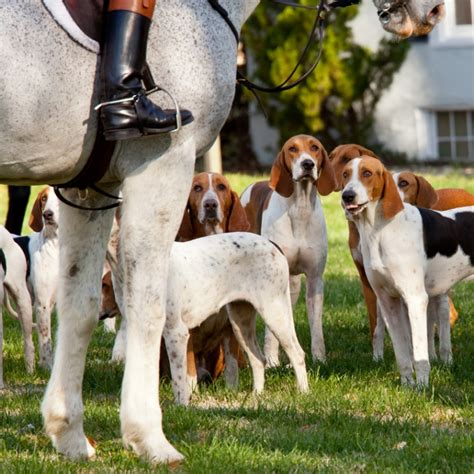 american foxhound puppies for sale american foxhound breed information and facts