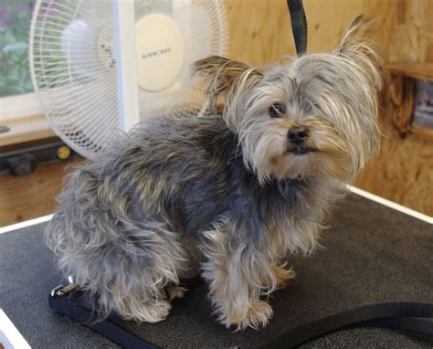 extra short haircut for yorkies here s my favorite yorkie hair style eldy s little shop