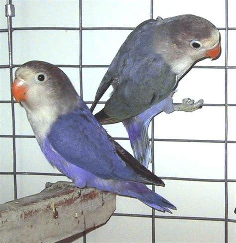 lovebird colors mauve fischer lovebird