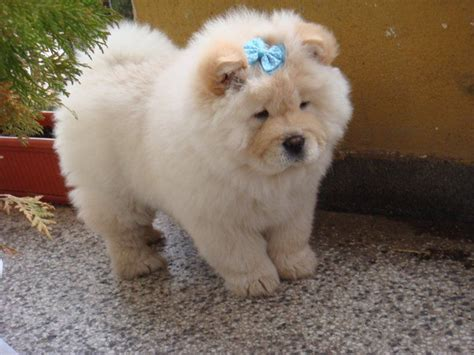 puppy chow 253 best images about chow chow on chow chow a and