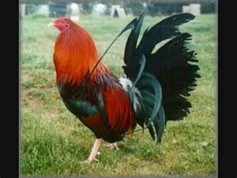 gallos de pelea super hermosos los gallos caros de oaxaca youtube