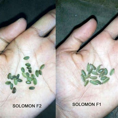 Bibit Sengon F1 jual benih sengon solomon f1 cepat besar