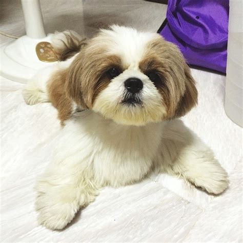 cute cuts for shih tzus 12 adorable shih tzus who will make your day better