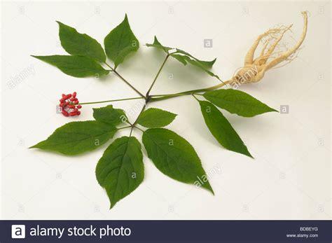 Panax Ginseng ginseng panax ginseng whole plant studio picture stock
