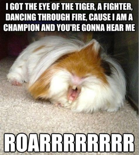 Funny Pig Memes - funny guinea pig jokes memes