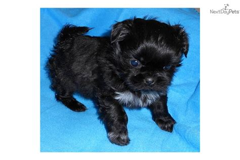 shih tzu puppies for sale in bellingham wa shih tzu puppy for sale near bellingham washington a480547c c6a1