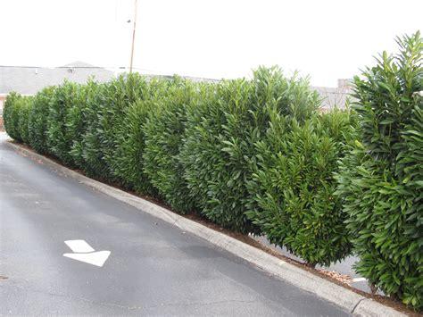 Skip Laurel Plant Schip Laurel Hedge Garden