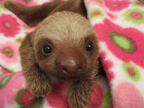 baby sloth wallpaper gallery