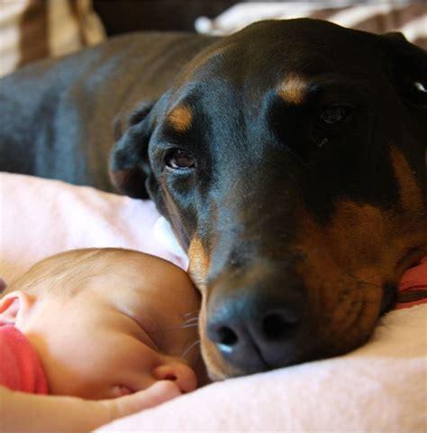 rottweiler doberman puppies 153 best images about hottweiler doberman on