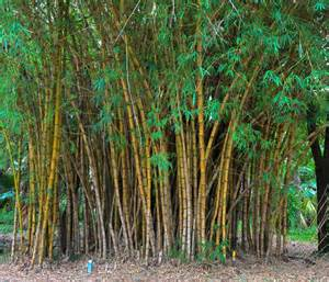 bamboo plant care the tree center