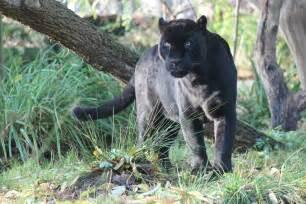 Jaguars In Jaguars In Dierenpark Emmen Kanaalstreek