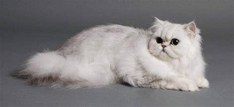 gatti persiani chinchilla il persiano chinchilla scheda completa di questo felino