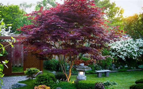 maple tree buy buy bloodgood japanese maple tree for sale from wilson bros gardens