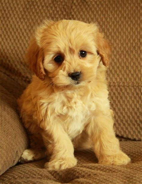 cockapoo puppies for sale in ky 17 best ideas about cockapoo puppies for sale on cockapoo pups for sale