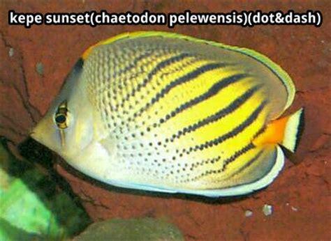 Ikan Hias Kalong jenis jenis ikan hias air laut karaengnyomba