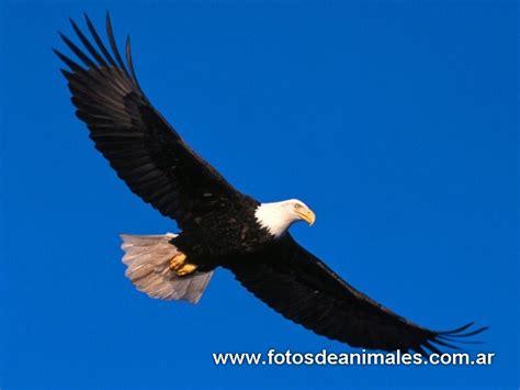 imagenes de animales vertebrados aves fotos de aves rapaces sancudas