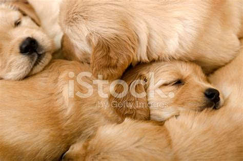 sleeping golden retriever golden retriever puppies sleeping on each other stock photos freeimages
