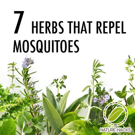 7 herbs that repel mosquitos