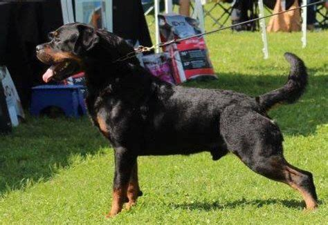 best rottweiler breeders in the world best rottweilers german rottweilers puppys for sale and adoption