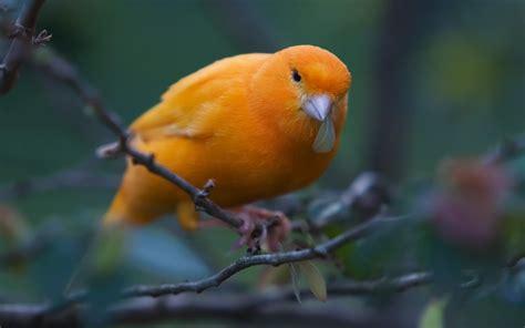 canary the utility bird turned pet fun animals wiki