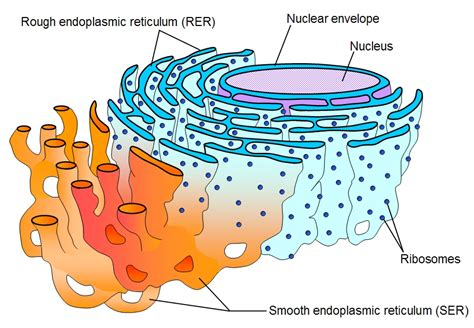 Where In A Eukaryotic Cell Does Translation Occur by Cell Structure