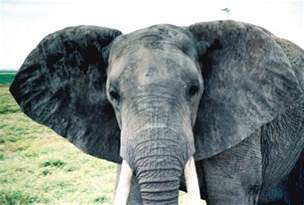 animal big cute ears elephant image 287389 on favim com