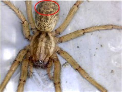 spiders with zig zag pattern on back spiders at spiderzrule the best site in the world about