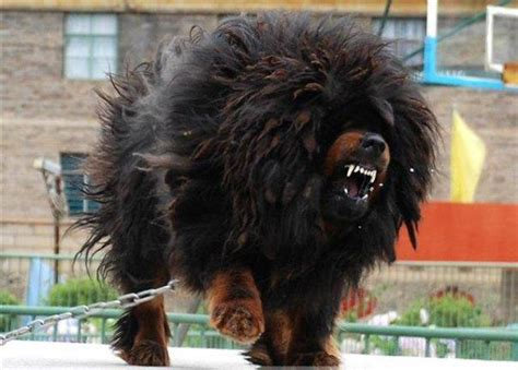 kaukasian dog with short hair caucasian mountain dog may be the biggest but i still