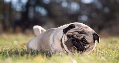 pug puppies wi things you must before buying pug puppies in wisconsin