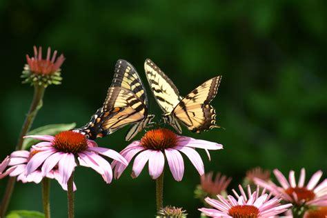 Original Mesin Jahit Butterfly Ja 1 foto insekten schmetterlinge echinacea zwei blumen tiere gro 223 ansicht