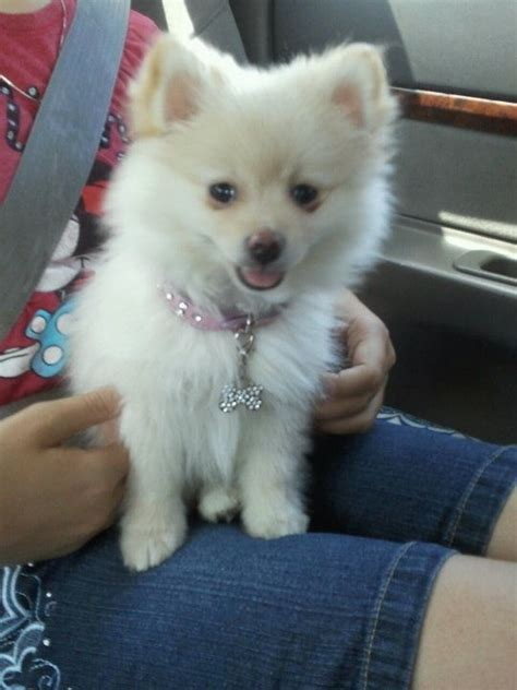 pomeranian purse 1000 images about dogs breed on schnauzer crested and