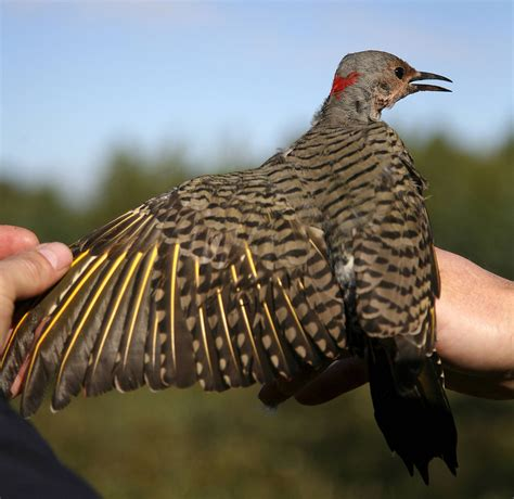 northern flicker one of america s most widespread