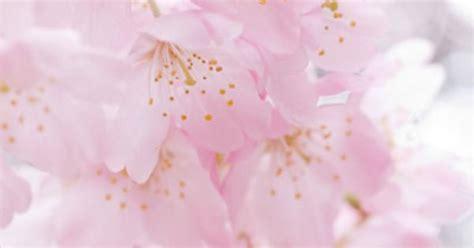 wallpaper bunga lembut gambar bunga sakura pink lembut flower sakura cherry