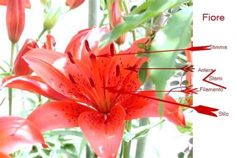 fiore angiosperme il fiore