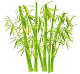 bambus le le fargesia ou bambou non tra 231 ant