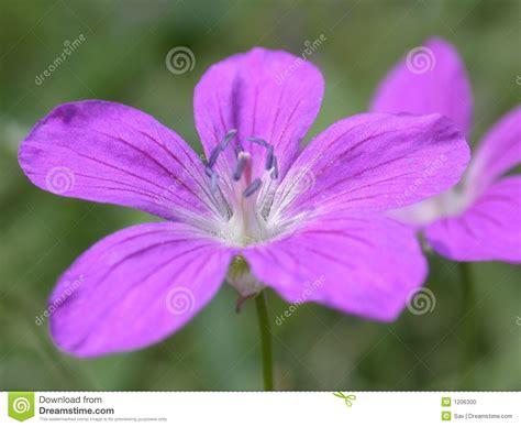viola fiore immagini fiore viola fotografia stock immagine 1206300