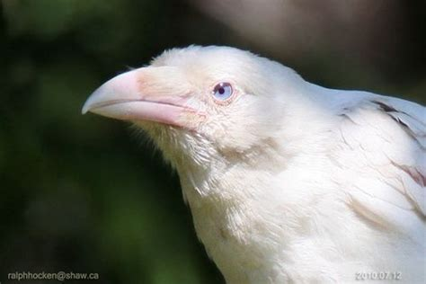 a leucistic crow with blue eyes it has patches of color