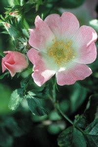 come prendere i fiori di bach i rimedi floreali di bach