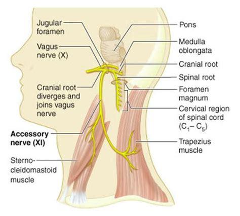 diagram of the vagus nerve accessory nerve jpg 688 215 619 pixels study help